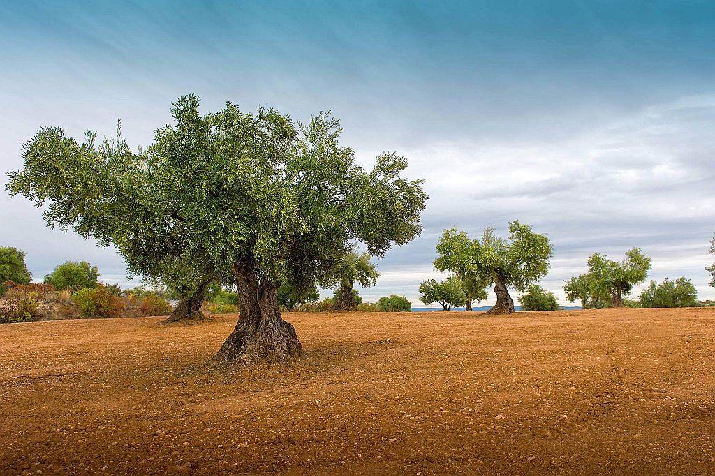olive season north cyprus